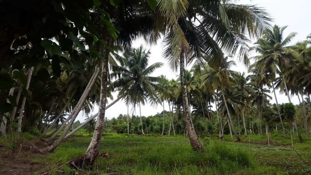 palm trees in Nias Jungle