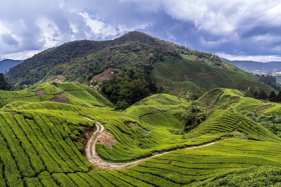 green fields in Cameron highlands, Malaysia
