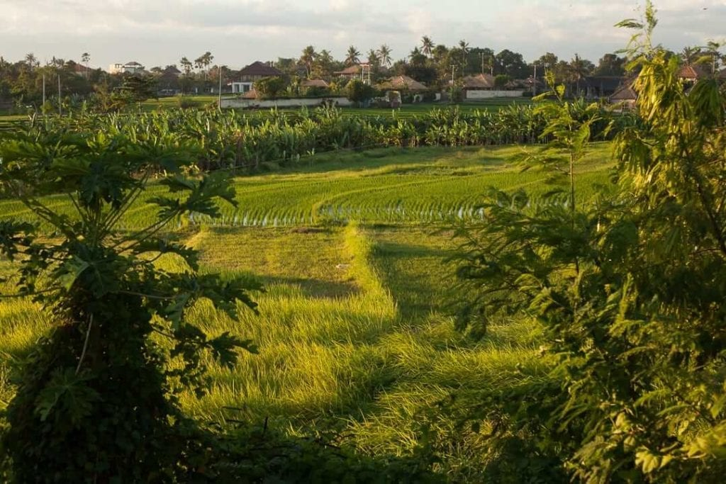 a wide green rice field