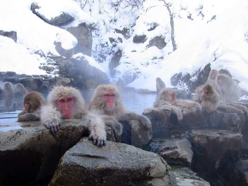 Winter monkeys in Japan enjoying onsen