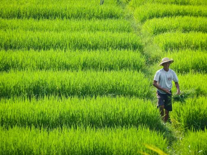 a farmer walks on the ricefields