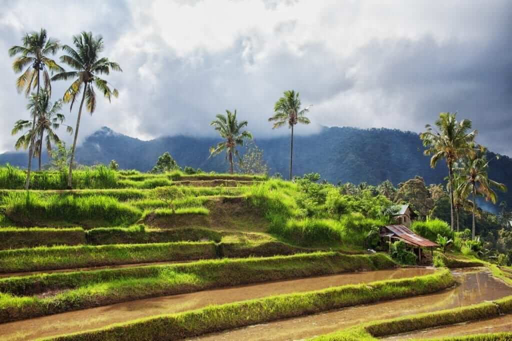 rice terrace close to the mountain in north bali