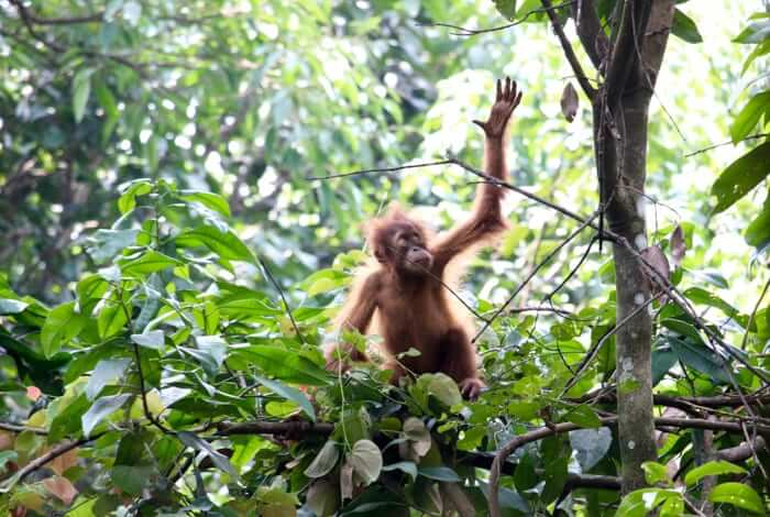 baby orang utan in the jungle