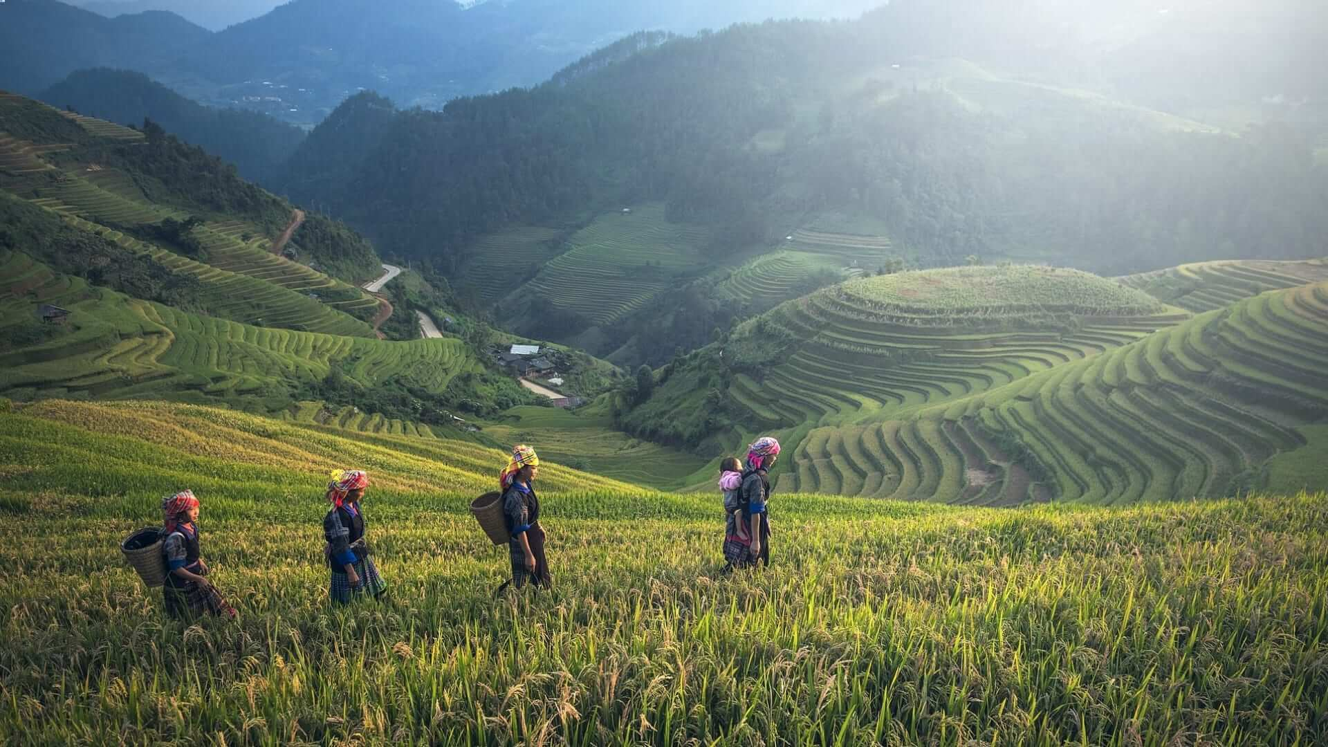 Four Indonesian woman are walking and working on a ricefield in Indonesia.