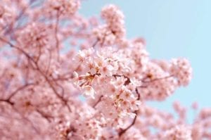 Cherry blossom season in South Korea