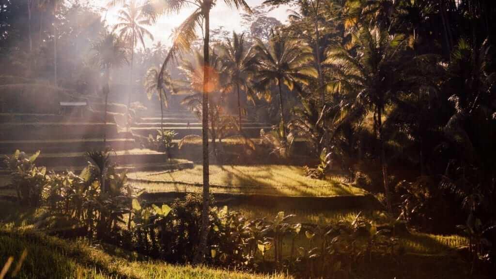 rice field and sunrise