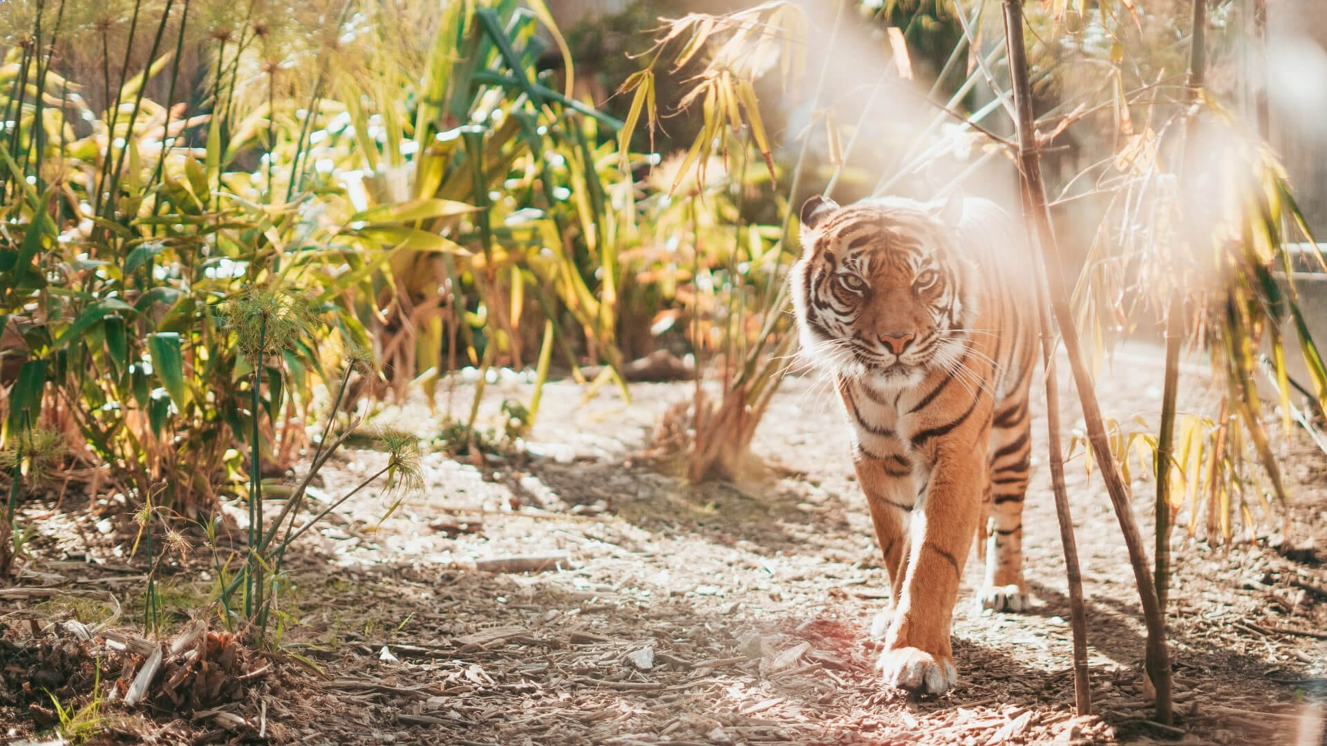 A tiger is looking angry and walking in a jungle in Asia.
