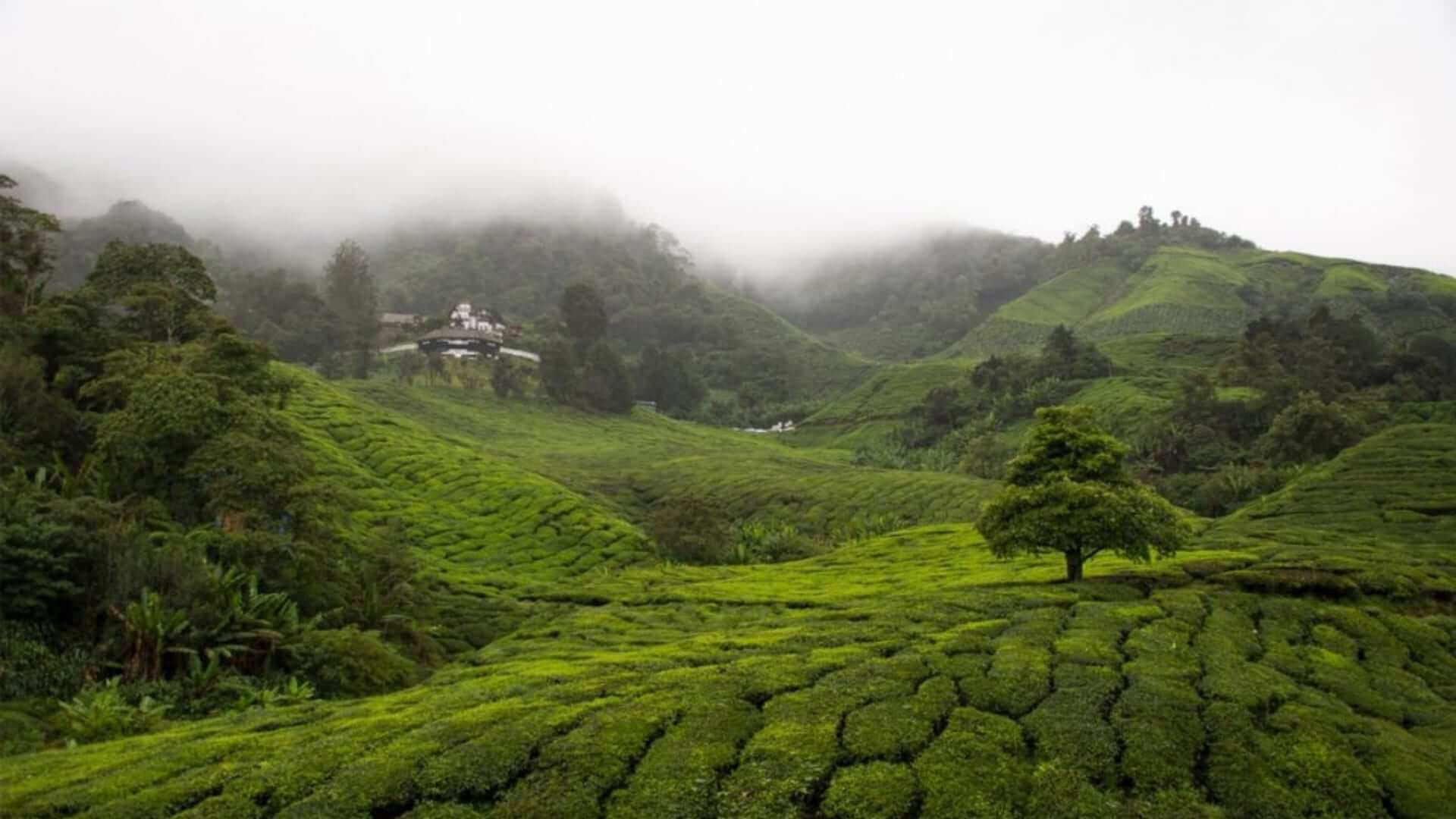 Green fields with tea plantations and foggy weather in Malaysia.