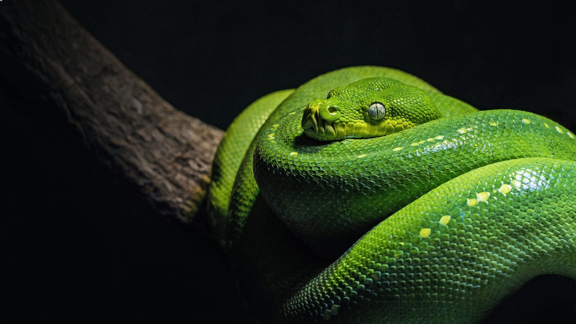 A green snake is laying on a stick during night in Asia.