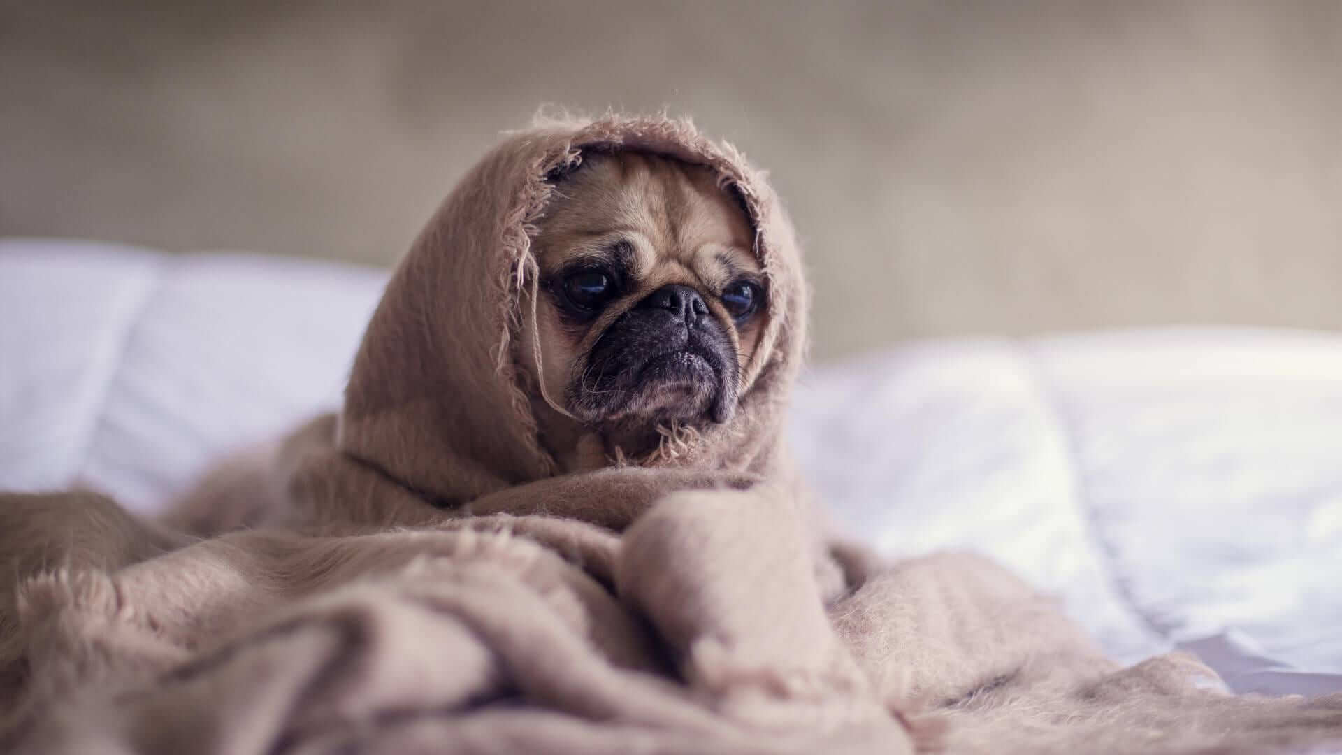 dog wearing a blanket on a bed