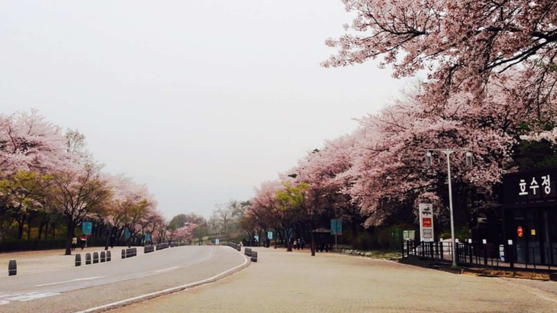 A street with pink cherry blossom trees next to it in an amusement park in Korea.