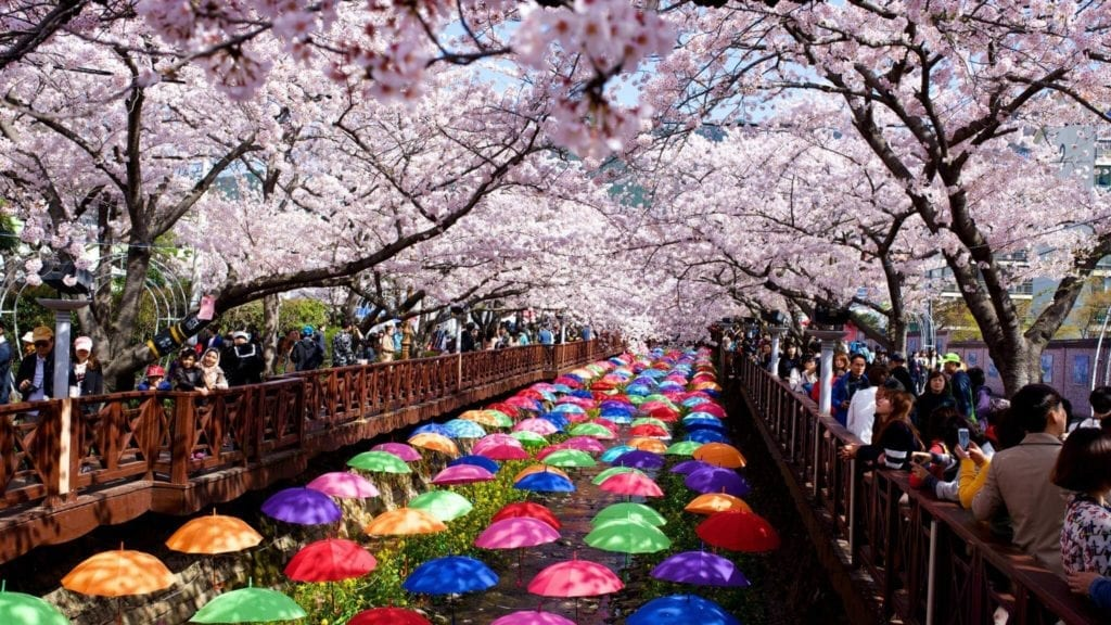 People observing the cherry blossoms. The pathway is covered in colourful umbrellas