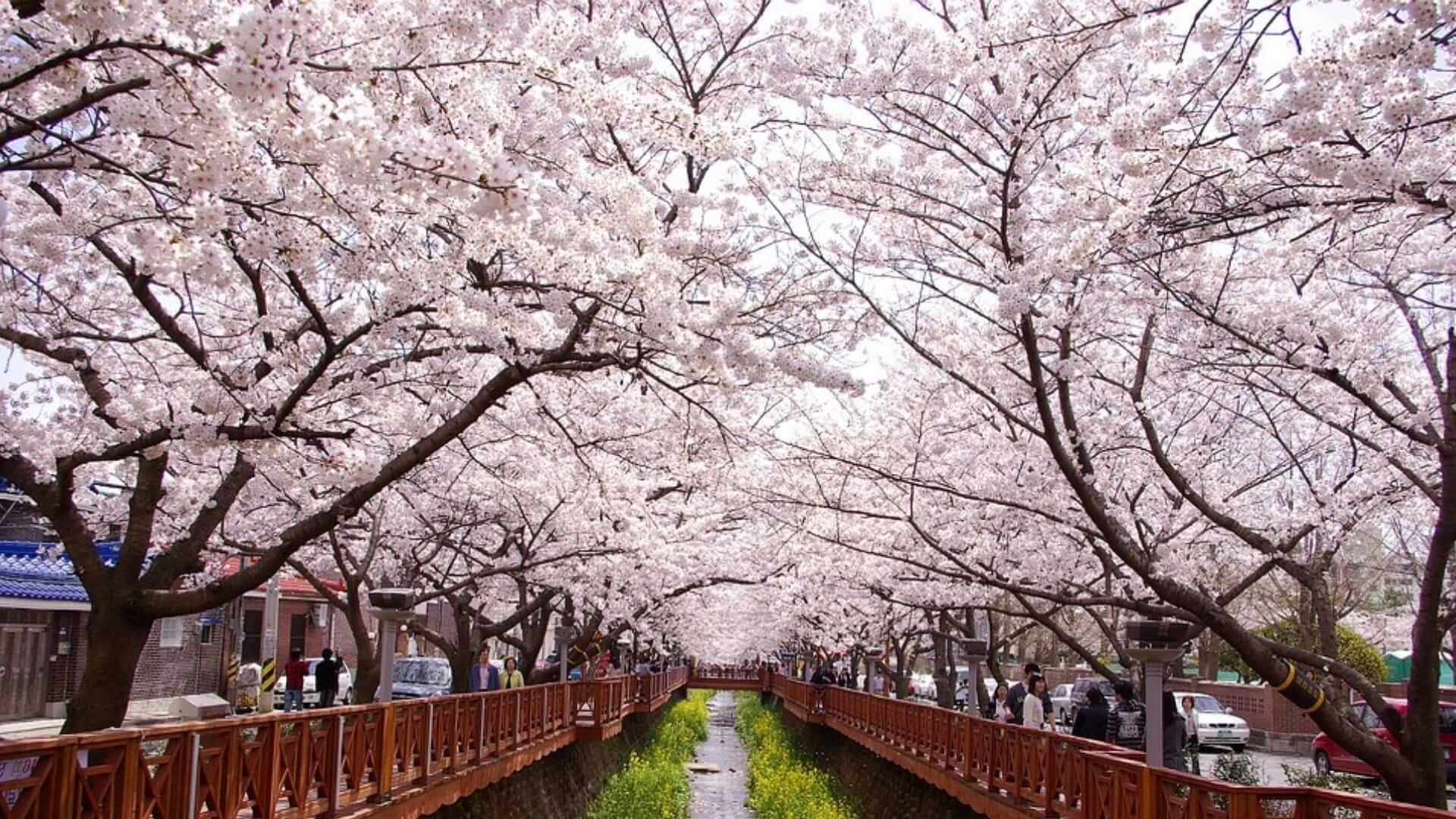 Blossom trees are standing next to an almost empty canal where people are walking on the side in Korea.