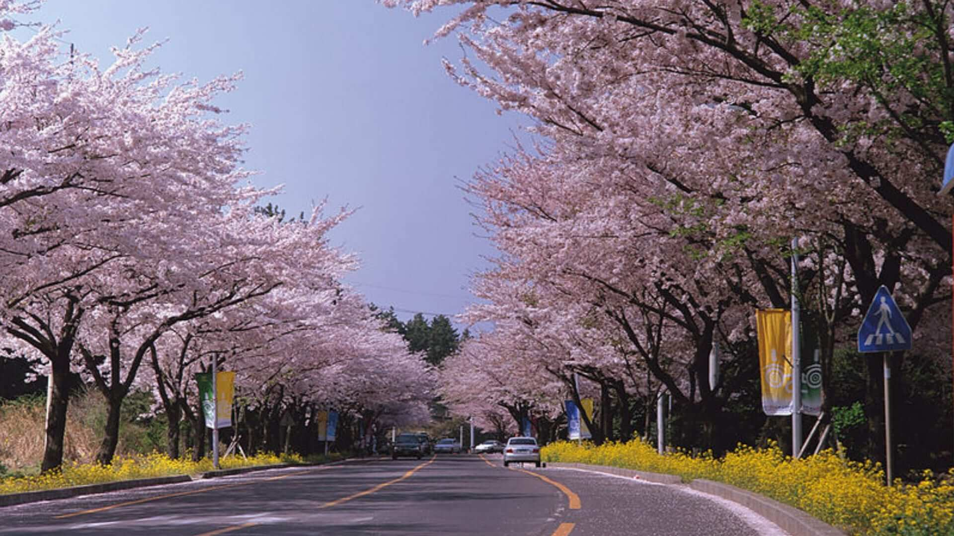 Cars are driving on a wide street with cherry blossom trees next to it on an island in Korea.