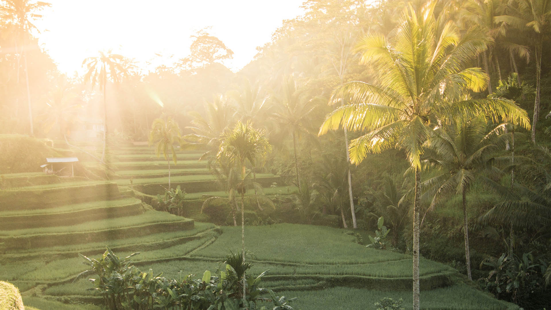 Green rice field paddies and palm trees