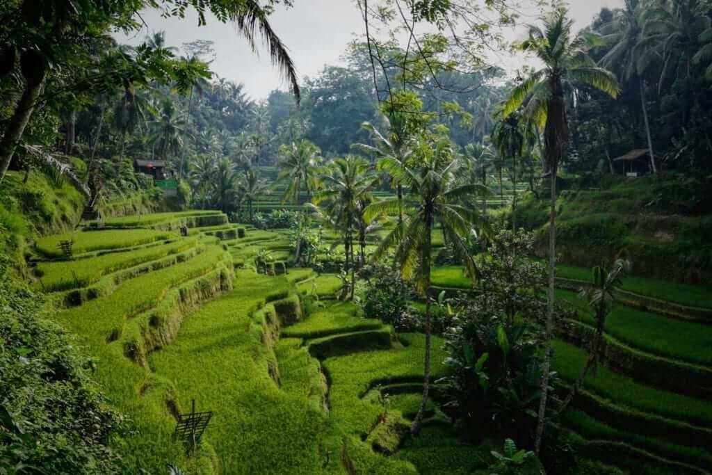 rice field paddies in bali