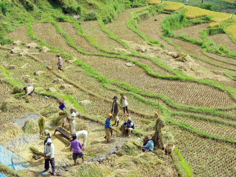 A group of farmers are sitting in a rice field, taking a break from the harvest