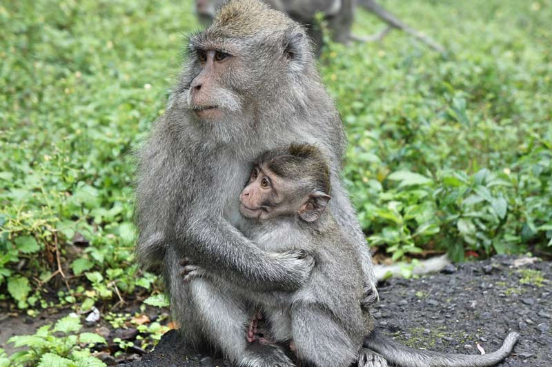 A mother monkey hugs her young