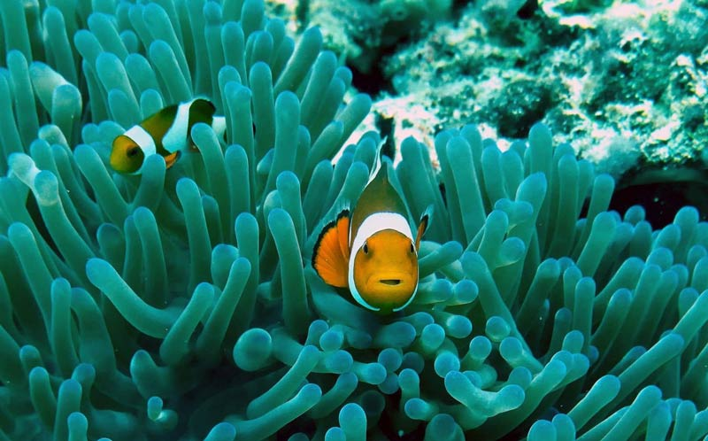 Orange and white fish swimming in front of the blue corals