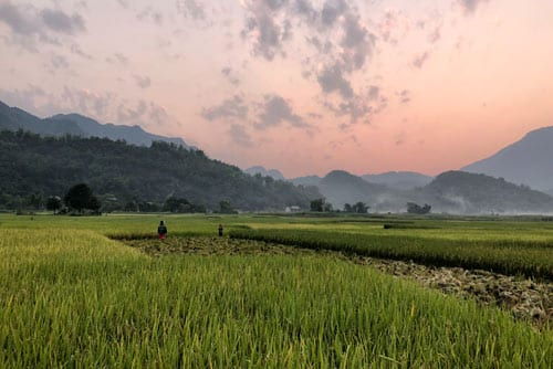 landscape view of a rice field during sunset